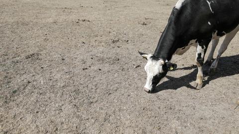 Milchkuh sucht während der Hitzewelle nach Futter