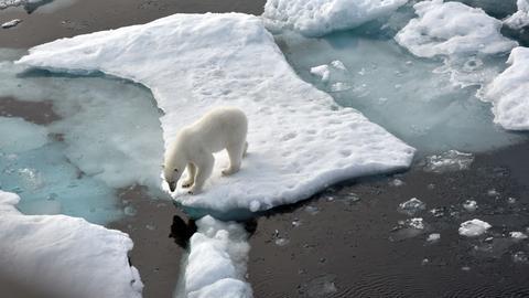 Eisbär im Nordpolarmeer