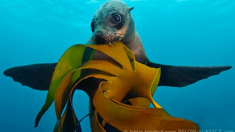 Südafrikanischer Seebär beißt in Seetang