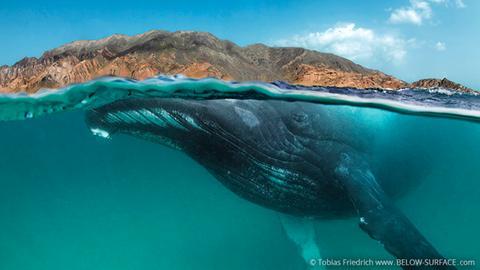 Buckelwal vor der Südostküste des Oman