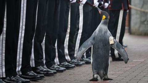Pinguin und norwegischer Brigadegeneral Nils Olav bei der Militärparade.