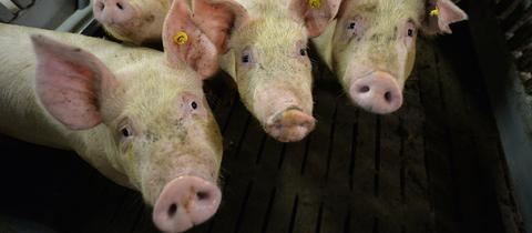 Mastschweine im Stall