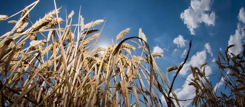 Über einem Weizenfeld scheint die Sonne