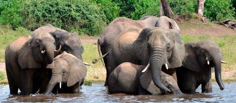 Knapp 300 Elefanten sind in Botsuana zum Abschuss freigegeben.