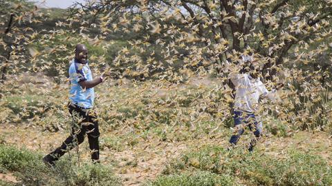 Der Osten Afrikas wird derzeit von der schlimmsten Heuschreckenplage seit 25 Jahren heimgesucht.