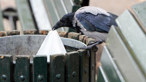Unter den Linden sucht eine Krähe in einem Papierkorb nach Fressbarem.