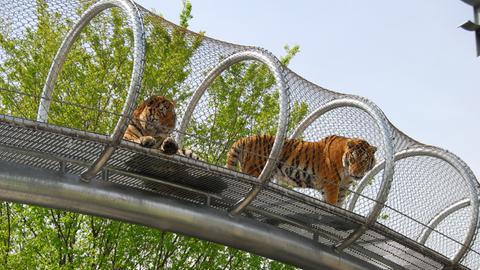 Tiger laufen durch die in der Höhe befestigten Gänge des Zoos von Philadelphia