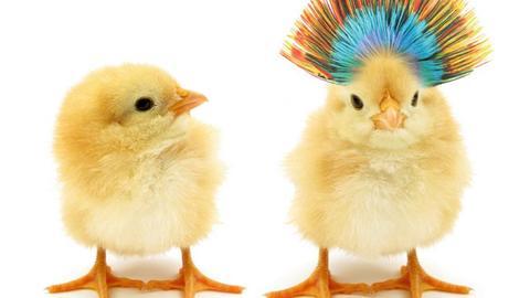Zwei Hühnerküken stehen nebeneinander, eines mit bunten Federn auf dem Kopf.