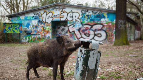 Wildschwein am Mülleimer
