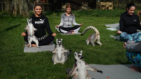 Yogakurs mit Lemuren