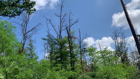 Fehlende Baumkronen im Pfungstädter Wald neben dem Wasserwerk