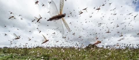 Heuschrecken fliegen über ein Feld in Ostafrika