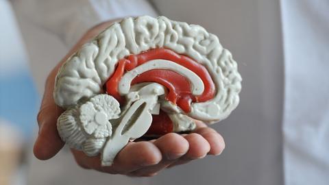 Eine Hand hält das Modell eines Gehirns