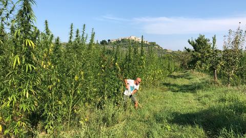 Fabrizio Serafini bestellt sein Cannabis-Feld