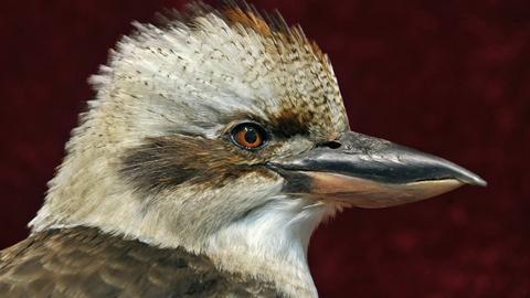 """Präparat eines Kookaburra, auch """"lachender Hans"""" genannt"""