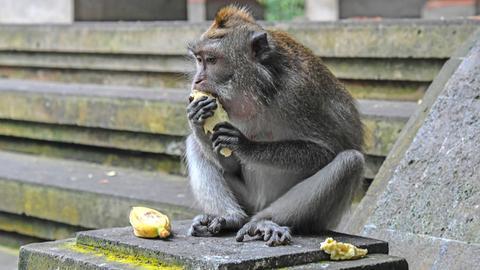 Eine Langschwanzmakake verspeist eine Frucht im Affenwald in Ubud, Bali, Indonesien.