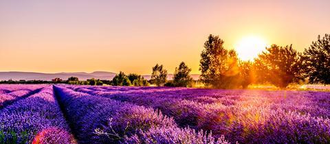 Sonnenuntergang über einem Lavendelfeld in Frankreich