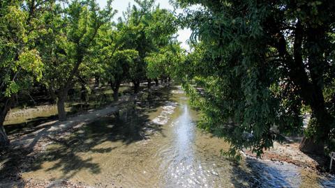 Mandelhain in den USA, der durch Flutung bewässert wird