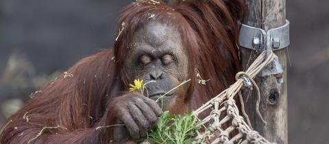 Orang-Utan-Weibchen Sandra riecht in einem Ökopark in Buenos Aires an einer Blume.