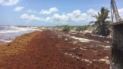 Sargassum-Berge an einem Karibik-Strand