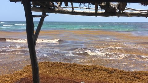 Algenberge an einem Karibikstrand