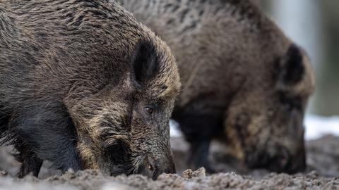 Zwei Wildschweine stehen auf einem Plateau im Wald.