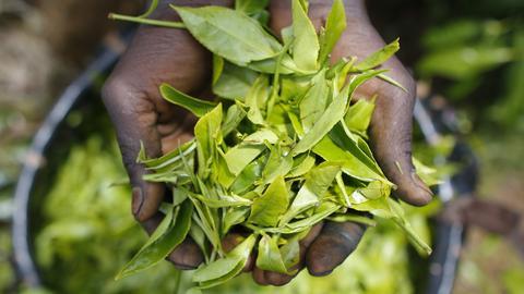 Tee-Pflanze