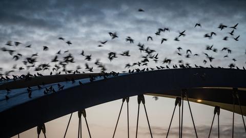 Krähen auf der Osthafenbrücke in Frankfurt