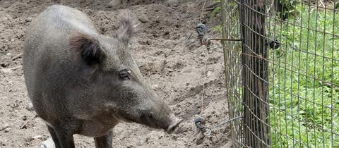 Ein Wildschwein vor einem Zaun
