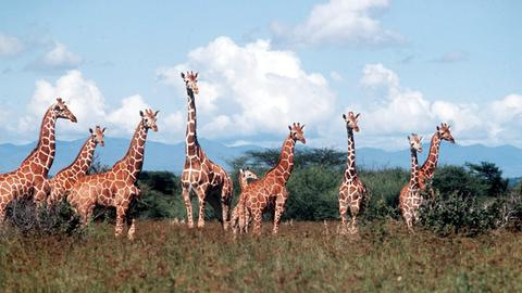 Giraffen im Serengeti-Nationalpark