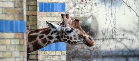 Giraffe streckt den Kopf aus ihrem Gehege